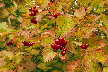 Guelder Rose (Viburnum opulus) with berries in autumn colours, Gelderland, Netherlands  -  Henkjan Kievit/ NIS