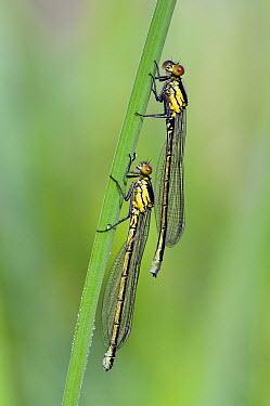 Red-eyed Damselfly (Erythromma najas) pair, Noord-Brabant, Netherlands  -  Bjorn van Lieshout/ NiS