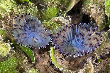 Peacock Worm (Sabella pavonina) pair filter feeding, Greece  -  Dimitris Poursanidis/ NIS