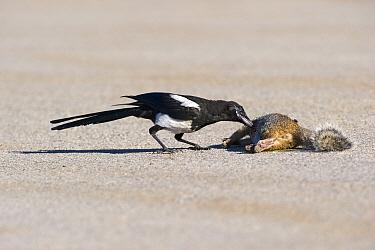Black-billed Magpie (Pica hudsonia) feeding on roadkill, Utah  -  Hans Overduin/ NIS