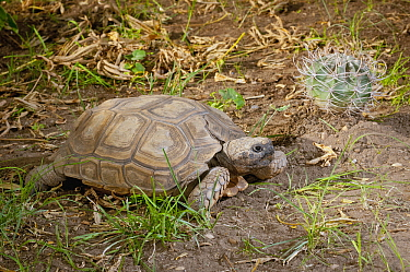 Chaco Tortoise (Geochelone chilensis) in desert, Buenos Aires, Argentina  -  Agustin Esmoris
