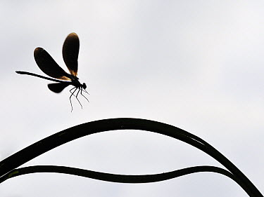 Beautiful Demoiselle (Calopteryx virgo) landing, Bourgogne, France  -  Ronald Hofmeester/ NIS