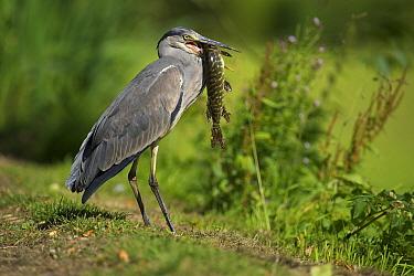 Grey Heron (Ardea cinerea) with Northern Pike (Esox lucius) prey, Zuid-Holland, Netherlands  -  Hans Overduin/ NIS