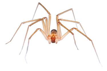 Chilean Recluse Spider (Loxosceles laeta) male, Buenos Aires, Argentina  -  Agustin Esmoris