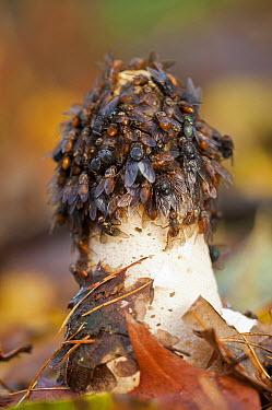 Common Stinkhorn (Phallus impudicus) mushroom with flies which are feeding on the gleba, Noord-Brabant, Netherlands  -  Bjorn van Lieshout/ NiS