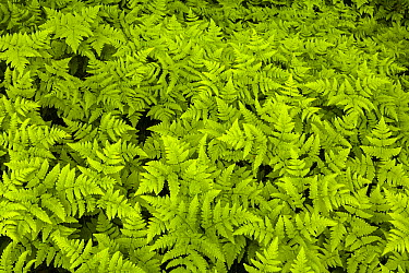 Western Oak Fern (Gymnocarpium dryopteris), Troms, Norway  -  Alex Huizinga/ NIS