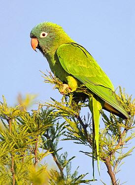 Blue-crowned Parakeet (Aratinga acuticaudata), Buenos Aires, Argentina  -  Agustin Esmoris