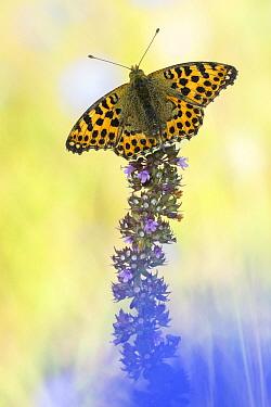 Queen Of Spain Fritillary (Issoria lathonia) butterfly, Hessen, Germany  -  Arik Siegel/ NIS