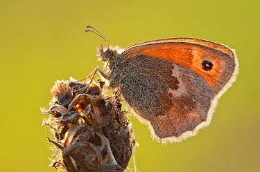 Small Heath (Coenonympha pamphilus) butterfly, Noord-Brabant, Netherlands  -  Bjorn van Lieshout/ NiS