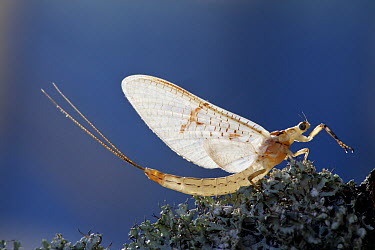 Common Burrower Mayfly (Ephemera danica), France  -  Edwin Rem/ NIS