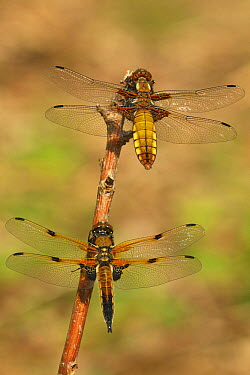 Broad-bodied Chaser (Libellula depressa) dragonfly female above male Four-spotted Chaser (Libellula quadrimaculata), North Rhine-Westphalia, Germany  -  Alexandra Wuensch/ NIS