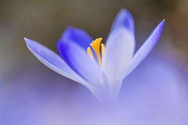 Crocus (Crocus sp) flower, Overijssel, Netherlands  -  Alex Huizinga/ NIS
