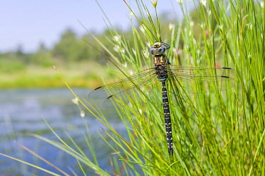 Subarctic Darner (Aeshna subarctica) male on reeds in wetland, Overijssel, Netherlands  -  Alex Huizinga/ NIS