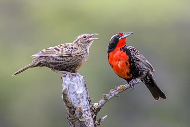 Long-tailed Meadowlark (Sturnella loyca) parent and begging chick, Torres Del Paine National Park, Chile  -  Alex Huizinga/ NIS