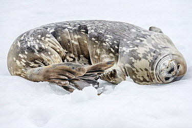 Weddell Seal (Leptonychotes weddellii) resting on snow, Antarctic Peninsula, Antarctica  -  Alex Huizinga/ NIS