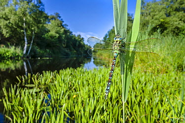 Green Hawker (Aeshna viridis) male on Water Soldier (Stratiotes aloides) in wetland, Overijssel, Netherlands  -  Alex Huizinga/ NIS