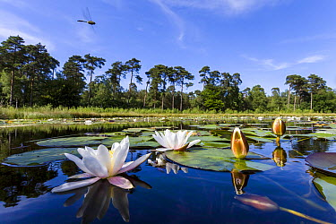 Downy Emerald (Cordulia aenea) dragonfly flying over lake, Overijssel, Netherlands  -  Alex Huizinga/ NIS