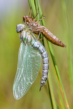 Subarctic Darner (Aeshna subarctica) has just emerged as imago from its exuvium, Overijssel, Netherlands  -  Alex Huizinga/ NIS