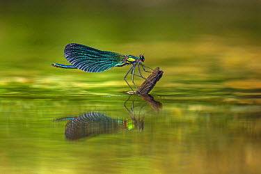 Beautiful Demoiselle (Calopteryx virgo) perched on wings of another female which is laying eggs underwater, Strandzha, Bulgaria  -  Alex Huizinga/ NIS