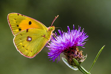 Clouded Yellow (Colias croceus) butterfly feeding on flower nectar, Overijssel, Netherlands  -  Alex Huizinga/ NIS