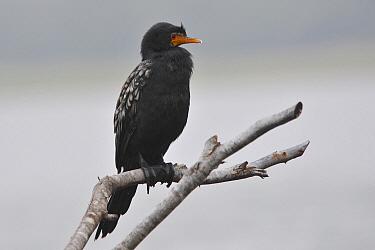 Long-tailed Cormorant (Phalacrocorax africanus), Western Cape, South Africa  -  Hans Overduin/ NIS