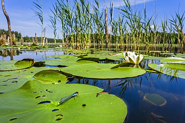 Red-eyed Damselfly (Erythromma najas) male on lily pad, Germany  -  Alex Huizinga/ NIS