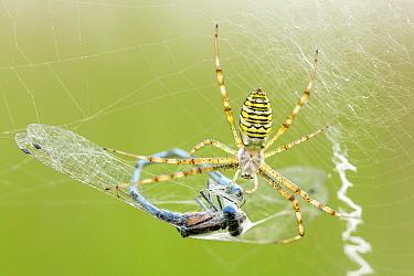 Wasp Spider (Argiope bruennichi) with male Common Blue Damselfly (Argiope bruennichi) prey in web, Overijssel, Netherlands  -  Alex Huizinga/ NIS