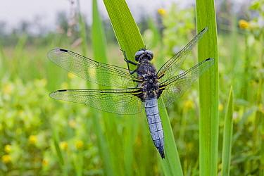 Scarce Chaser (Libellula fulva) dragonfly male near pond, Overijssel, Netherlands  -  Alex Huizinga/ NIS
