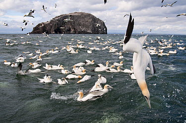 Northern Gannet (Morus bassanus) group plunge diving, Bass Rock, Scotland, United Kingdom  -  Richard Shucksmith/ NIS