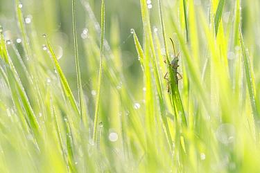Meadow Grasshopper (Chorthippus parallelus) male on dew-covered grass East Flanders, Belgium  -  Jeffrey Van Daele/ NIS