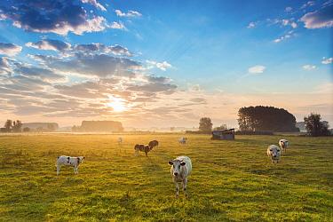 Domestic Cattle (Bos taurus) herd at sunset, East Flanders, Belgium  -  Jeffrey Van Daele/ NIS