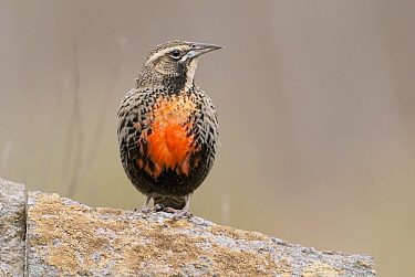 Long-tailed Meadowlark (Sturnella loyca), Buenos Aires, Argentina  -  Agustin Esmoris