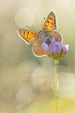 Small Copper (Lycaena phlaeas) butterfly on flower, Hessen, Germany  -  Arik Siegel/ NIS