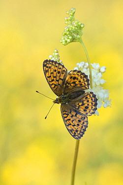 Lesser Marbled Fritillary (Brenthis ino) butterfly on flower, Bavaria, Germany  -  Arik Siegel/ NIS