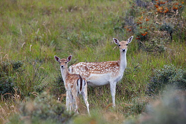 Fallow Deer (Dama dama) mother and fawn, Noord-Holland, Netherlands  -  Edwin Rem/ NIS
