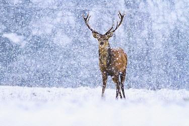 Red Deer (Cervus elaphus) stag during snowfall, Derbyshire, England, United Kingdom  -  James Shooter/ NIS