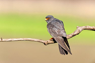 Red-footed Falcon (Falco vespertinus) male, Neves, Hungary  -  Dick Hoogenboom/ NIS