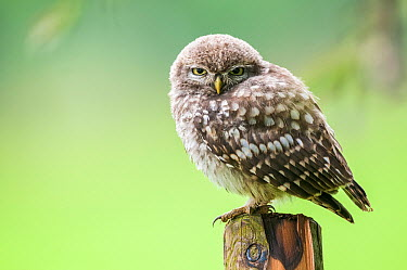 Little Owl (Athene noctua) chick, East Flanders, Belgium  -  Jeffrey Van Daele/ NIS