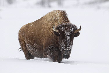 American Bison (Bison bison) walking through deep snow, Yellowstone National Park, Wyoming  -  Peter Cairns/ NiS