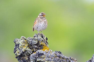 Redwing (Turdus iliacus) male calling, Lake Myvatn, Iceland  -  Jeffrey Van Daele/ NIS