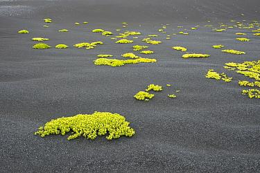 Sea Sandwort (Honckenya peploides) growing on black basalt sand, Iceland  -  Jeffrey Van Daele/ NIS