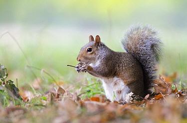 Eastern Gray Squirrel (Sciurus carolinensis) feeding, London, England, United Kingdom  -  Johan Siggesson/ NIS