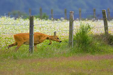 Western Roe Deer (Capreolus capreolus) doe leaving Wild Radish (Raphanus raphanistrum) field through  fence, Noord-Holland, Netherlands  -  Remco van Daalen/ NIS