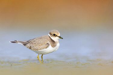 Little Ringed Plover (Charadrius dubius) fledgling, East Flanders, Belgium  -  Jeffrey Van Daele/ NIS
