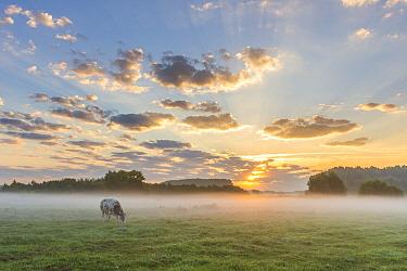 Domestic Cattle (Bos taurus) grazing at sunrise, East Flanders, Belgium  -  Jeffrey Van Daele/ NIS