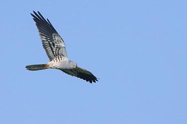 Montagu's Harrier (Circus pygargus) flying, Turkey  -  David Verdonck/ NIS