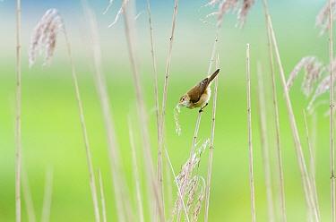 Eurasian Reed-Warbler (Acrocephalus scirpaceus) gathering nesting material from dried Common Reed (Phragmites australis), East Flanders, Belgium  -  Jeffrey Van Daele/ NIS