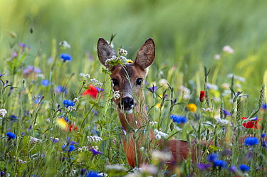 Western Roe Deer (Capreolus capreolus) doe amid wildflowers, Netherlands  -  Ronald Stiefelhagen/ NiS