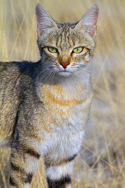 African Wild Cat (Felis lybica), Etosha National Park, Namibia  -  Andrew Schoeman/ NIS