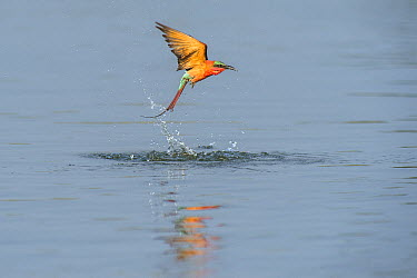 Southern Carmine Bee-eater (Merops nubicoides) flying over over water after touching down in it, Namibia  -  Andrew Schoeman/ NIS